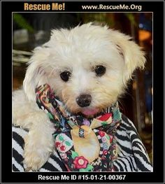 Maltese  Age: Young Adult  Compatibility:Good with Most Dogs, Good with Adults (Not Kids) Personality:High Energy, Average Temperament Health:Neutered, Vaccinations Current  If you are interested in me, please visit my site, www.breederadoptions.org, read my Policies and Procedures, complete the application and my rescuers will contact you promptly. HI! My name is Teddy and I am an adorable little Maltese boy who is 3 years old and I weigh 4 pounds. I need a stay at home ...