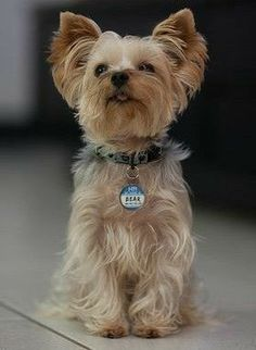 Teacup Yorkie, Cute Baby Animals, Yorkshire, Pugs, Cute Babies, Best Friends, Breeds Of Small Dogs, Pets, Cute Little Animals