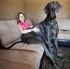 Biggest dog in the world. Great Dane named George. 7 feet long and 4 feet tall. Craziness!!