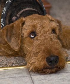 Aww look at those eyes!! How can you say no to such an adorable face of an Airedale❤️