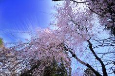 しだれ桜~降るの画像(写真)