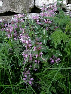 dead nettle - maybe this? jeesh who knows...