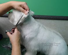 Pet Grooming: The Good, The Bad, & The Furry: 'Pet' Westie Cut
