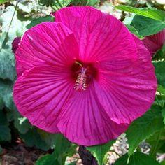 Luna™ Rose Hibiscus moscheutos '' -- Rose Mallow. Beautiful! Love hibiscus. #tropical #pink