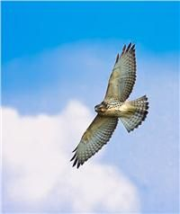 The broadwing hawk, also called the broad winged hawk, is seen in the fall at Hawk Mountain, soaring south over North Lookout. Hawk Species, Largest Bird Of Prey, Outdoor Recreation, Birds Of Prey, Birds Eye View, Raptors, Conservation, Hawks, Wings