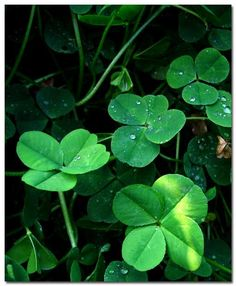 Four Leaf Clover..Oh how many hours spent in my childhood looking for these.