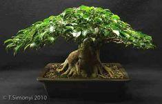 Ficus Techniques :15 - Ficus benjamina reduction
