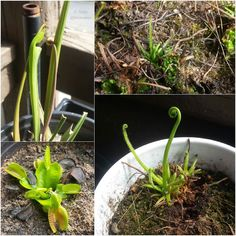 Happy first day of spring! My carnivorous plants are all starting to wake up. Bugs beware!! #carnivorousplants #sarracenia #drosera #flytrap #pitcherplant #sundew #dionaeamuscipula #carnivoroustagram #carnivorousplantsofinstagram #gardenerstuckinapartment #gardening #porchgarden #porchgardening #equinox #springequinox #springequinox2016 by thekoimaiden