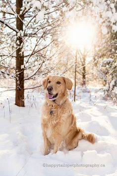 Ontario winter pet photography with Golden Retriever dog in the snow. ©happytailspetphotography.ca