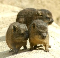 These tiny Rock Hyrax babies at Chester Zoo are the closest living relative to the elephant!
