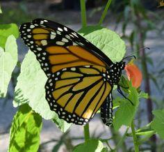 Using Georgia Native Plants: Yes, Georgia, Monarch Butterflies Do Breed Here