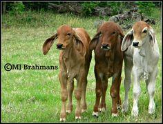 #brahman