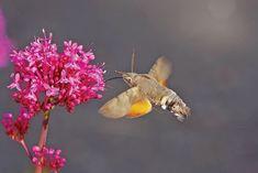 Hummingbird hawk moth Constantine Bay, Side Portrait, South West Coast Path, North Cornwall, Hawk Moth, South Devon, British Countryside, Go Outdoors, Guy Pictures