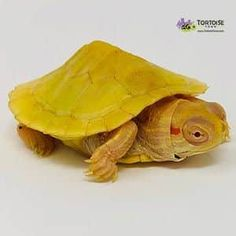 Aquatic turtles for sale online cheap, buy baby aquatic turtles, water turtle breeders near me live turtles for sale and baby freshwater turtle store. Baby Turtles For Sale, Baby Sea Turtles, Baby Tortoise, Tortoise Turtle, Freshwater Turtles, Freshwater Aquarium, Aquarium Fish, Turtle Store, Boxer Mix Puppies