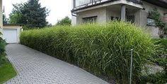 Výsledek obrázku pro volně rostoucí živý plot