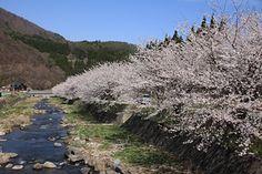 宇原川堤防の桜 4/25(満開) Country Roads
