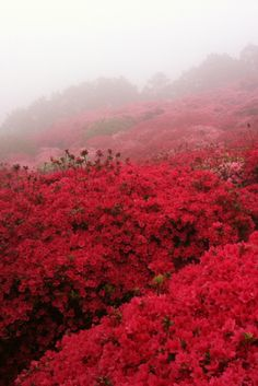 Azalea Festival, Nagakushiyama Park, Nagasaki, Japan (My neighborhood looks really similar to this around April. In South Carolina/Georgia, Azuelas just bloom everywhere. What A Wonderful World, Beautiful World, Beautiful Places, Nagasaki, Shades Of Red, Belle Photo, The Great Outdoors, Wonders Of The World, Mother Nature