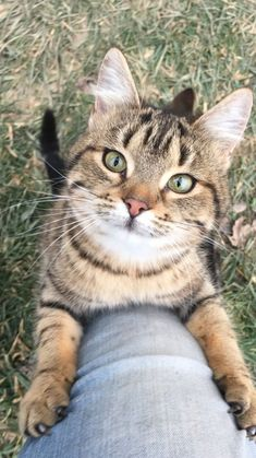 Cat Years: What Are They & How Long Do Cats Live A Maine Coon is a large breed of cat, not just referring to its voluptuous fur but its body mass, too. The Maine Coon lifespan is hardly any. Baby Animals, Funny Animals, Cute Animals, Animal Memes, Animal Humor, Animals Images, Pretty Cats, Beautiful Cats, Pretty Kitty
