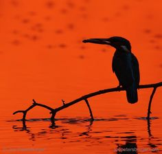 Photo by @joepetersburger / @ thephotosociety // WORKING ALL DAY // Kingfisher perches on a twig with #fish over water at sunset. When they have #chicks, #kingfishers hunt from early morning until sunset. Taken only about 50 miles from my residency... Travel less, discover your backyard, reduce your ecological footprint! Please #followme at @joepetersburger to keep up-to-date with my images! @natgeo @natgeocreative @natgeotravel @natgeofineart @thephotosociety @canonusa @canonuk…