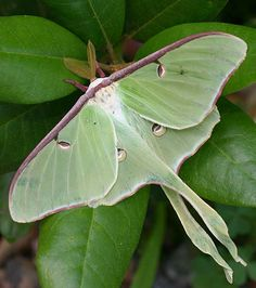 GAFunkyFarmhouse: Weekend Wonders: Beautiful Butterflies and Moths of Georgia; I love Luna moths and really hope to one day see one up close!