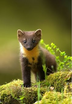 Young Pine Marten. They belong to the mustelid family, which also includes mink, otter, badger, wolverine and weasel.
