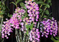 Orquídea Dendrobium bronckartii - Hastes Pendentes - Jardim Exótico - O maior portal de mudas do Brasil.