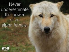 "Alpha female // Tapping Your Inner Wolf: http://nyti.ms/1BQp2Co via The New York Times  ""Alpha male"" connotes the man who at every moment demonstrates that he's in total control in the home, and who away from home can become snarling and aggressive. Ecologist and author Carl Safina learns from wolves that this stereotype is not only wrong, but also that... ""It's the alpha female who really runs the show."""