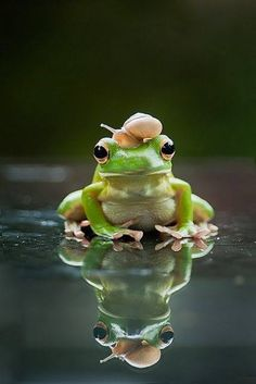 Frog with snail on head