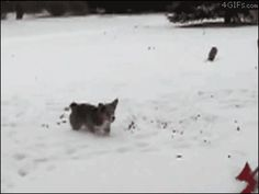 Corgi backflip in the snow. Pretty decent audition tape for Snow Dogs 2.. snow,dog,Animals,gif,GIFs,corgi (odds that we can teach this to c-dog, given her reaction to the hose?)