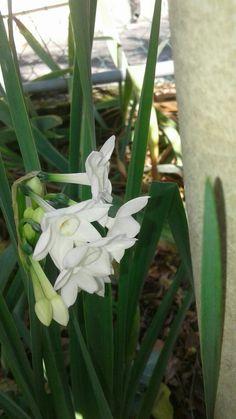 FLOWERS. narcisi della nonna