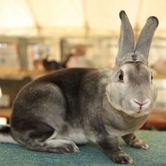 A chinchilla Rex, this is the breed and variety that I used to breed and show.