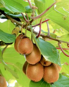 How to Grow Kiwi fruit in your home – Gesundes Abendessen, Vegetarische Rezepte, Vegane Desserts, Fruit Plants, Fruit Garden, Fruit Trees, Garden Plants, Kiwi Growing, Growing Tomatoes, Kiwi Benefits, Health Benefits, Kiwi Vine