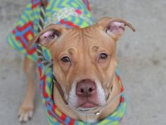 TO BE DESTROYED 4/19/15 Golden/white Female Pit Bull 4 YRS***OWNER MOVING TO BREED BIASED HOME SO DUMPED IN HIGH KILL SHELETR!!! Volunteers say: Petite & dainty. Lived in harmony w/ several adults & kids. Walks beautifully on leash & seems housetrained. Responsive to her person. Happy & friendly. Playful, shyly affectionate. Loves to give kisses & seems to melt in your lap. There's really nothing about Arie that I don't adore. I am quite sure when you meet her, you will feel the same exact…
