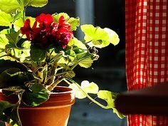red geranium, red gingham