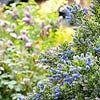 California Lilac - full sun well drained soil