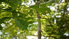 森の真珠@バラタマバチ