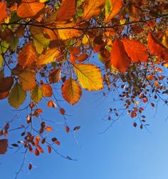 Autumn beech leaves, Sheffield, 2014