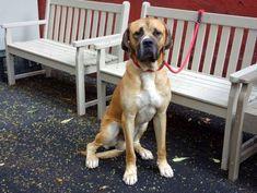 GONE RIP 7/26/13 Manhattan CHEF A0972610  MALE, TAN, MASTIFF MIX, 2 yrs Chef lik...  #A0972610 #Chef #lik #Male #Manhattan #MASTIFF #mix #Rip #tan #yrs No Kill Animal Shelter, Animal Rescue, Cavalier Rescue, Mastiff Mix, Puppy Mills, Pet Life, Big Dogs, Pet Adoption, The Fosters