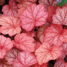 Georgia Peach Heuchera Coral Bells Plant-Looks like even I could grow these...think I'm going to try a few around the patio