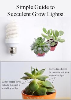 Learn what you need to know about choosing and using grow lights for succulents. LEDs, fluorescent lights, red/blue or white - which do you need and why does it matter? Pin now, read later!  #succulents #succulentgrowlights #succulentcare #growlights Indoor Succulents, Planting Succulents, Indoor Plants, Feng Shui Plants, Best Grow Lights, Short Plants, Succulent Care, Indoor Garden, Gardening Tips