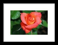 rose, orange, flower, nature, macro, michiale schneider photography
