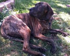 Maggie is a female Fila Brasileiro available at Big Dogs Huge Paws, Aurora, CO.