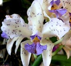 Cattleya amethystoglossa (coerulea x albescens) Unusual Flowers, Most Beautiful Flowers, Rare Flowers, Types Of Flowers, Unusual Plants, Rare Plants, Exotic Plants, Rare Orchids, Cattleya Orchid