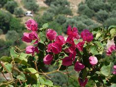 Bougainvillea - Episkopi, Crete, Greece