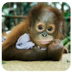 If you are an animal lover, this kind of vacation in Borneo is perfect for you. Trekking in the jungle, discovering local villages and having a one-on-one meeting with a red, fluffy orangutan. Sounds like a dream vacation to me, to be honest! Cute Funny Animals, Cute Baby Animals, Animals And Pets, Baby Animals Pictures, Cute Animal Pictures, Primates, Save The Orangutans, Monkey See Monkey Do, Baby Orangutan