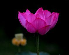 https://flic.kr/p/vC5xvt | Hasu | Lotus flower Shirasagi Park,Sakai, Osaka ここは全部赤いハスです。種類はよく分かりません。 先日の白っぽいハスは酔妃蓮という種類なのでこのハスは 酔過蓮とでも名付けたいくらいですね。