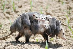 OPPOSSUM WITH LOTS OF BABIES
