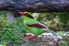 Green Magpie (Green tailed)