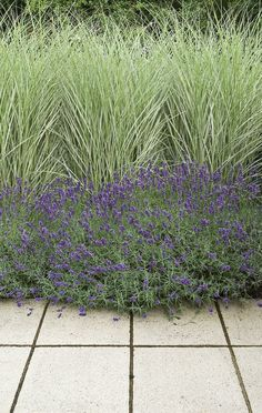 Miscanthus 'Morning Light' and lavender is a good combination!