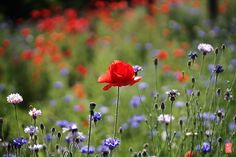 poppy by KWY  on 500px